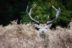 MAMMALS - Red Deer Stock Image