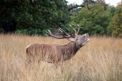 MAMMALS - Red Deer Stock Images