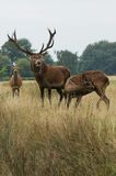 MAMMALS - Red Deer Royalty Free Stock Photo