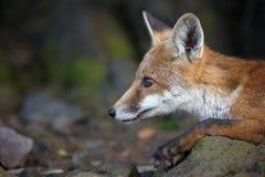 Red Fox, Vulpes vulpes. Mammals - Red Fox, Vulpes vulpes stock photo