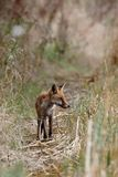 Red Fox, Vulpes vulpes. Mammals - Red Fox, Vulpes vulpes royalty free stock images