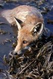 Red Fox, Vulpes vulpes. Mammals - Red Fox, Vulpes vulpes royalty free stock photo
