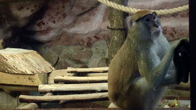 Mammals-Red monkey (Hussars) stock footage