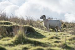 Sheep, Lamb, Ram, Ovis aries royalty free stock photos