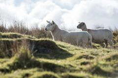 Sheep, Lamb, Ram, Ovis aries stock images