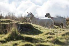 Sheep, Lamb, Ram, Ovis aries. Mammals - Sheep, Lamb, Ram, Ovis aries stock images