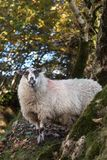Sheep, Lamb, Ram, Ovis aries royalty free stock images