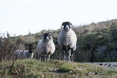 Sheep, Lamb, Ram, Ovis aries royalty free stock photography