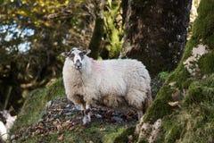 Sheep, Lamb, Ram, Ovis aries stock photo