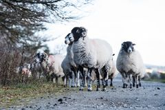Sheep, Lamb, Ram, Ovis aries. Mammals - Sheep, Lamb, Ram, Ovis aries stock image