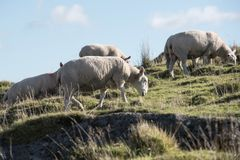 Sheep, Lamb, Ram, Ovis aries royalty free stock image