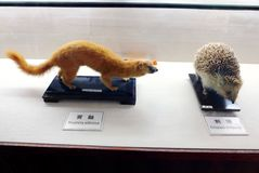 Mammals specimens in China school Royalty Free Stock Image