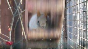 Mammals-Squirrel stock video footage