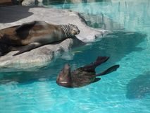 Mammals and pool. Mammals swim in a blue swimming pool stock photos