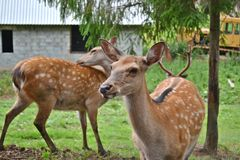 Mammals ungulates deer wildlife protection Royalty Free Stock Photos