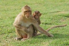 Mamman och behandla som ett barn apan Fotografering för Bildbyråer