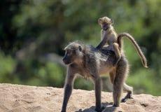 Mamman och behandla som ett barn babianen i den Kruger nationalparken Royaltyfri Foto