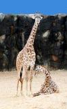 Mamman och behandla som ett barn giraffet Fotografering för Bildbyråer