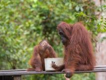 Mamman och behandla som ett barn orangutang har frukosten i djunglerna av Indonesien Arkivbild