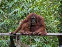 Mamman och behandla som ett barn orangutang sitter sleepily på en träplattform (Indone Fotografering för Bildbyråer