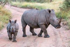 Mamman och behandla som ett barn vita noshörningar Royaltyfria Bilder