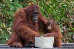 Mammaorangutanget och hon behandla som ett barn samtidigt framstöt deras händer in i en bunke av mat (Indonesien) Royaltyfri Bild