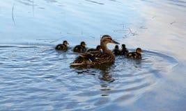 Mammawilde eend en eendjes royalty-vrije stock fotografie