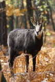 Mammifère alpin de chamois Image stock
