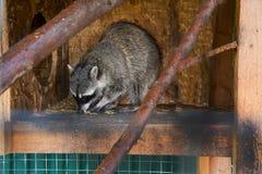 Mammifère animal sauvage de procyon de rayures de cage de raton laveur photographie stock libre de droits