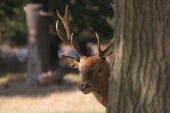 Mammifère de dissimulation timide de cerfs communs derrière l'arbre Photo libre de droits