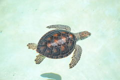Mammifères de marinelife de reptiles de la vie de tortues de tortue Photo stock