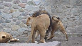 Mammiferi animali riproduzione carnivora e riproduzione dell'oggetto nella cattività Giochi di amore africani della leonessa e d stock footage