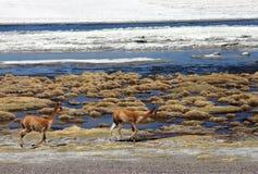 Mammiferi selvaggi che funzionano nel deserto boliviano Fotografia Stock