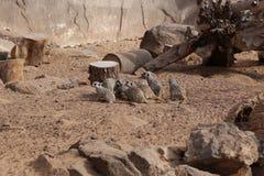 Mammifero africano di suricatta del Suricata di Meerkat piccolo Fotografia Stock