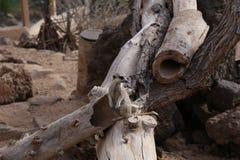 Mammifero africano di suricatta del Suricata di Meerkat piccolo Fotografie Stock Libere da Diritti