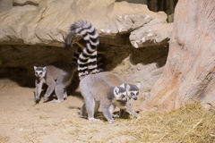 Mammifero animale divertente Madagascar delle lemure Fotografia Stock