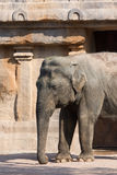 Mammifero de Elefante Indiano di profilo Imagens de Stock