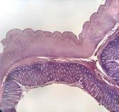 Mammifero del grande intestino della parete Immagine Stock