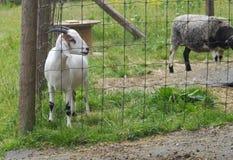 Mammifero di agricoltura che coltiva il bestiame della capra domestica Immagini Stock Libere da Diritti