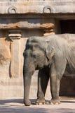 Mammifero di Elefante Indiano di profilo Immagini Stock