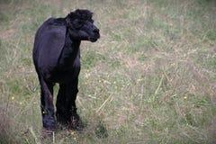 Mammifero nero della lama dell'alpaga fuori nel campo Fotografia Stock