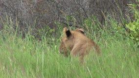 Mammifero pericoloso selvaggio Africa Kenya del leone stock footage