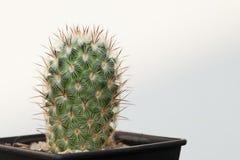 Mammilaria droegeana cactus Stock Image