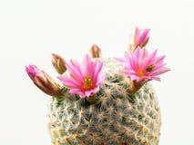 Mammilaria herrerae Stock Image