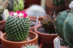 A Mammillaraia Polythele Nuda cactus in flower. A Mammillaraia Polythele Nuda cactus with pink flowers Royalty Free Stock Photography