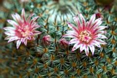 Mammillaria与露水的仙人掌花 库存照片