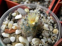 Mammillaria开花在窗口基石的prolifera仙人掌 库存照片