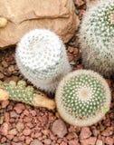 Mammillaria仙人掌植物 免版税图库摄影