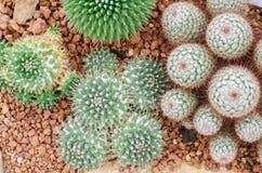 Mammillaria仙人掌植物 免版税库存图片