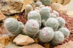 Mammillaria仙人掌植物(Mammillaria geminispina) 库存图片